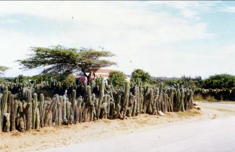 Kaktusar tjänstgörande som staket, Aruba (1970)